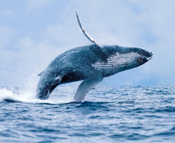 Dónde vive la ballena y qué come - Qué costumbres tienen las ballenas