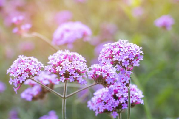 Planta verbena: cuidados - Luz para la planta verbena y su ubicación