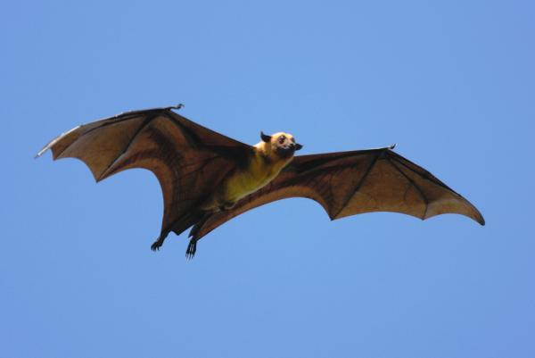 Cuáles son los animales mamíferos voladores - Cuáles son los animales mamíferos voladores: definición y taxonomía