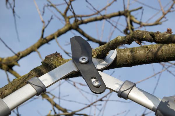 Podar un cerezo: cuándo y cómo hacerlo