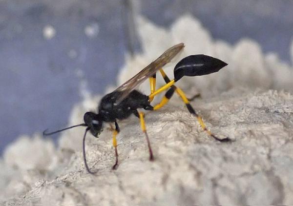Avispa alfarera: cómo es, nido y picadura - Cómo es una avispa alfarera