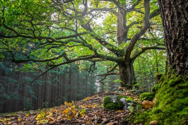 Bosque templado: características, flora y fauna - Flora del bosque templado