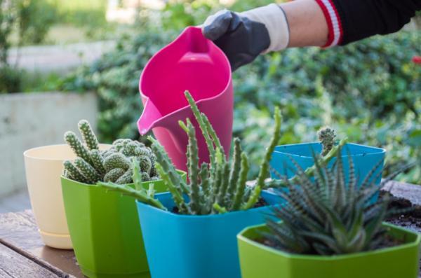 Regar los cactus: cada cuánto y cómo hacerlo