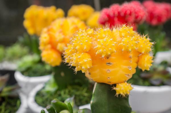 16 plantas pequeñas - Cactus injertado o Gymnocalycium mihanovichii
