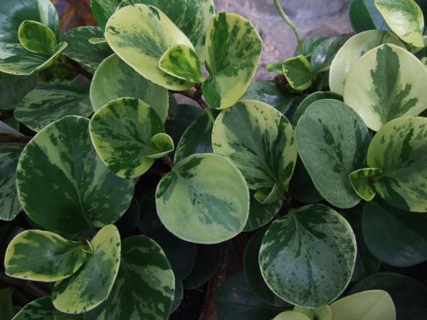 16 plantas pequeñas - Peperomia obtusifolia