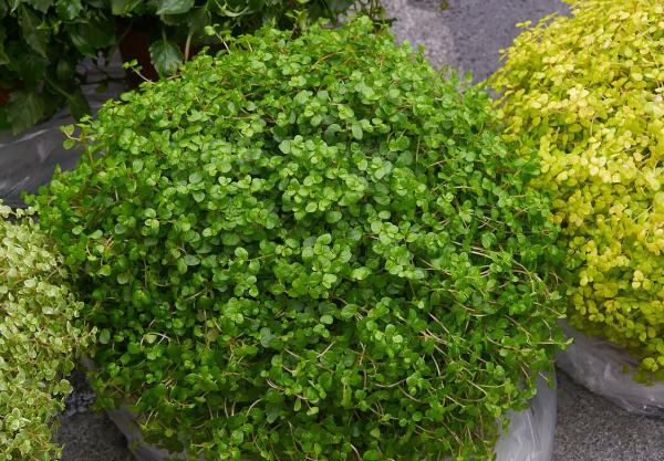 16 plantas pequeñas - Soleirolia