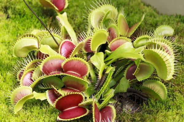 16 plantas pequeñas - Venus atrapamoscas o Dionaea muscipula
