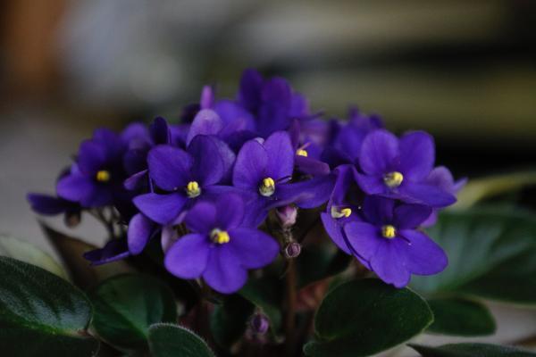 16 plantas pequeñas - Violeta africana