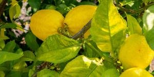 Hojas amarillas en el limonero: causas y cómo salvarlo