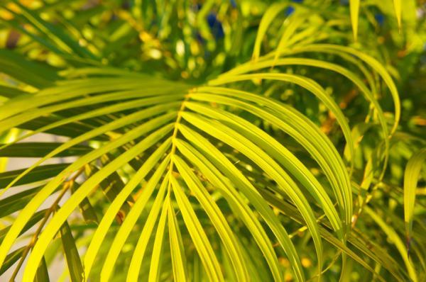 Plantas que absorben la humedad - Palmera bambú