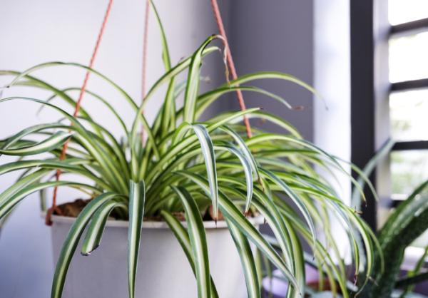 Plantas que absorben la humedad - Planta araña o cinta