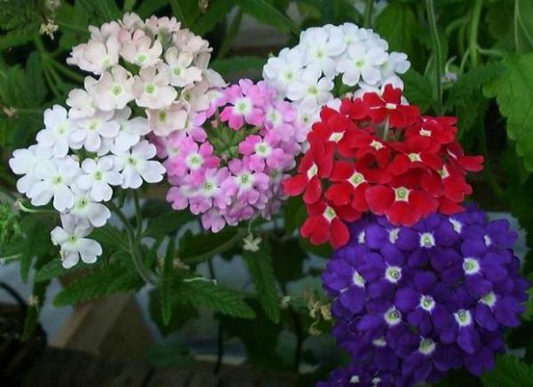 11 plantas que florecen todo el a o for Arbustos para macetas exterior
