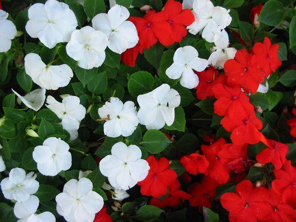 11 plantas que florecen todo el año - Alegrías, plantas que florecen todo el año