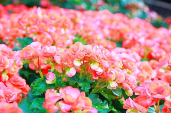 11 plantas que florecen todo el año - Begonia, una de las plantas que florecen todo el año con más flores