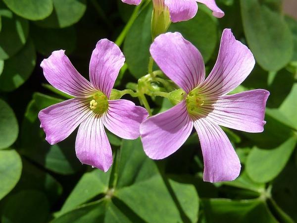 11 plantas que florecen todo el año - Flores de oca