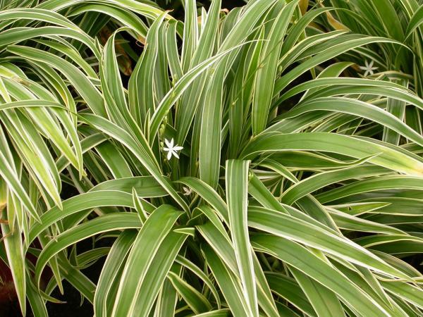 Plantas de la buena suerte según el Feng Shui - Chlorophytum o lazo de amor