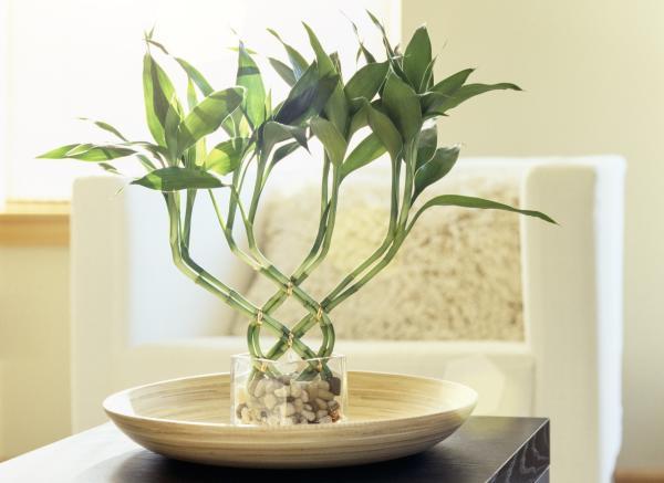 Plantas de la buena suerte según el Feng Shui - Dracaena sanderiana o bambú de la suerte