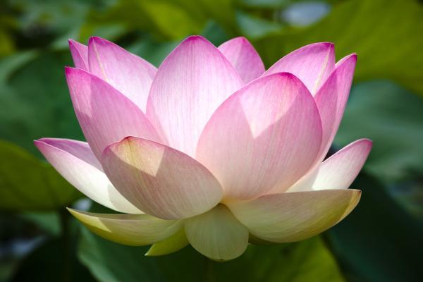 Plantas de la buena suerte según el Feng Shui - Nelumbo nucifera o flor de loto