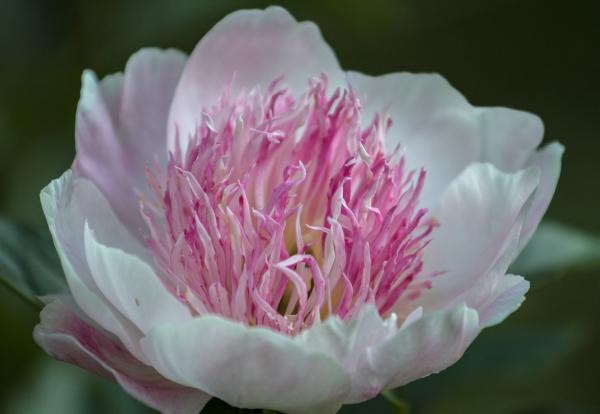 Plantas de la buena suerte según el Feng Shui - Paeonia officinalis o peonía