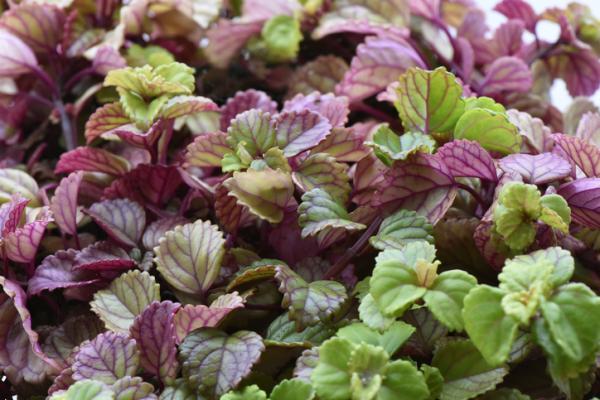 Plantas de la buena suerte según el Feng Shui - Plectranthus o planta del dinero