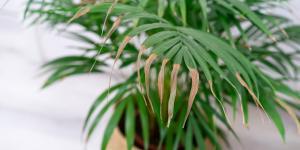 Por qué se secan las puntas de las hojas de las plantas