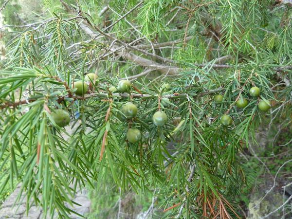 Árboles en peligro de extinción - Cedro de las Canarias