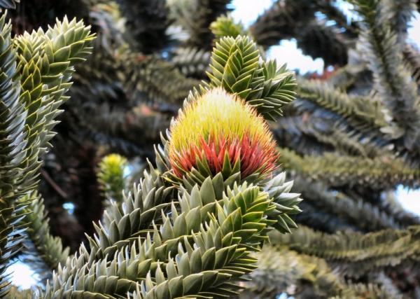 Árboles en peligro de extinción - Pehuén