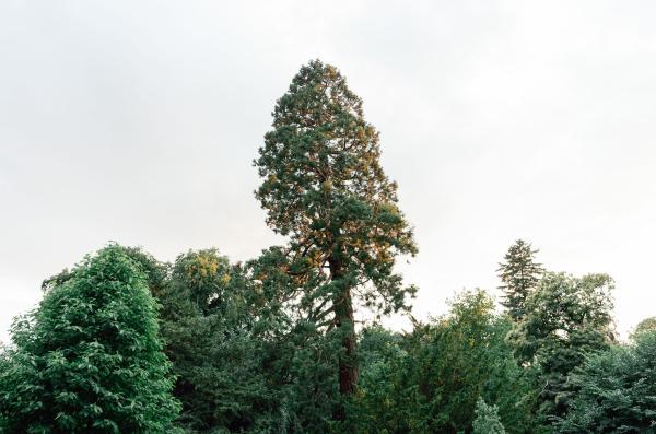 Árboles en peligro de extinción - Secuoya gigante