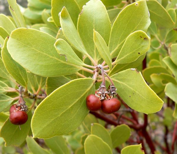 50 plantas medicinales mexicanas y para qué sirven - Pingüica (Arctostaphylos pungens)