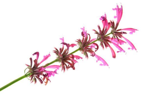 50 plantas medicinales mexicanas y para qué sirven - Toronjil morado (Agastache mexicana)