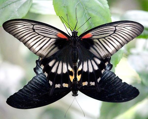Características de las mariposas: dónde viven, qué comen, tipos y curiosidades - Cómo se reproducen las mariposas