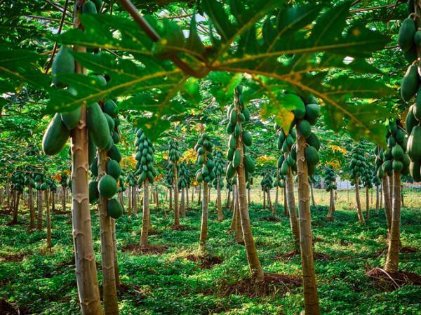 Cómo sembrar papaya - Cómo sembrar papaya en tierra o suelo