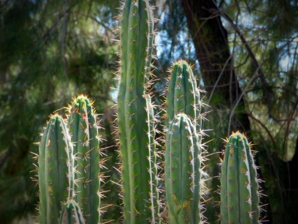 Suculentas con flores: nombres, características y fotos - Cactus de San Pedro (Echinopsis pachanoi)