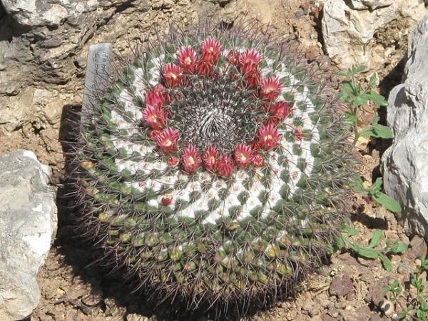 Suculentas con flores: nombres, características y fotos - Cactus Mammillaria