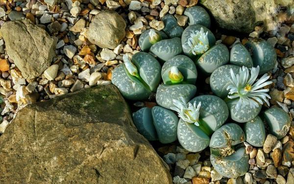 Suculentas con flores: nombres, características y fotos - Cactus piedra (Lithops)