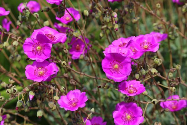 Suculentas con flores: nombres, características y fotos - Calandrina (Calandrinia spectabilis)