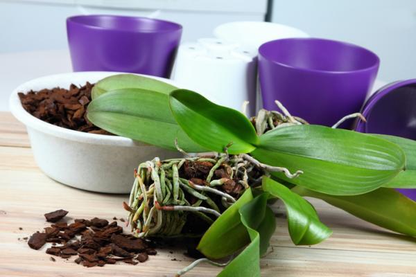 Cómo podar una orquídea - Cómo podar una orquídea paso a paso