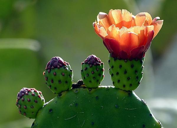 Suculentas con flores: nombres, características y fotos - Nopal (Opuntia)