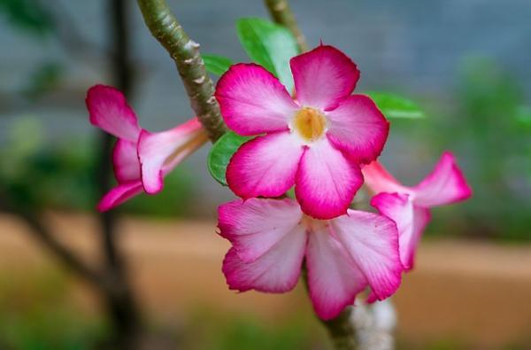 Suculentas con flores: nombres, características y fotos - Rosa del desierto (Adenium obesum)