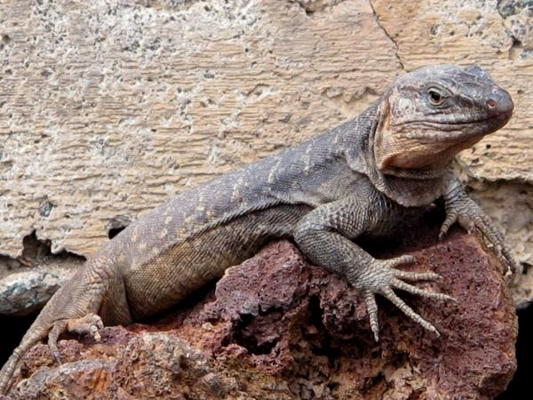 32 animales en peligro de extinción en España - Lagarto gigante de El Hierro