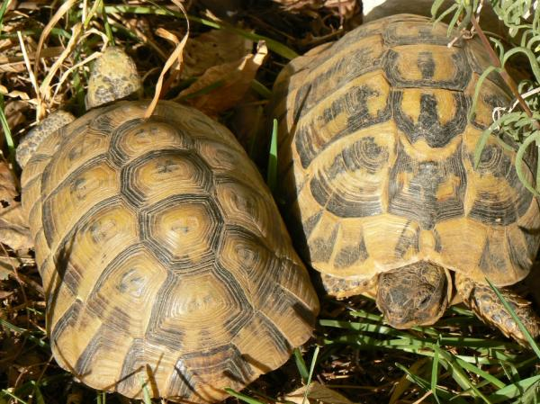32 animales en peligro de extinción en España - Tortuga mora