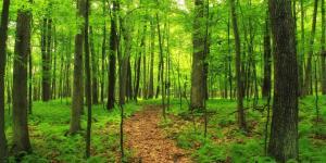 Sotobosque: qué es, plantas y animales