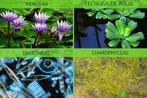 Qué es un ecosistema acuático - Flora del ecosistema acuático