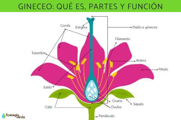 Gineceo: qué es, partes y función