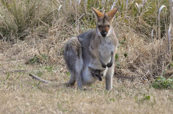 ¿Los animales mamíferos son ovíparos o vivíparos? - Tipos de animales vivíparos y ejemplos