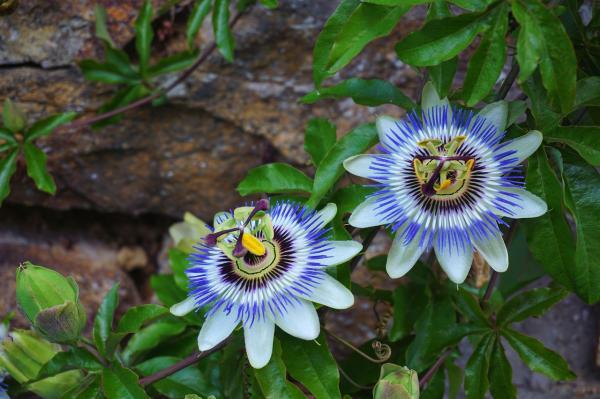 Nombres de plantas trepadoras con flores - Pasionaria