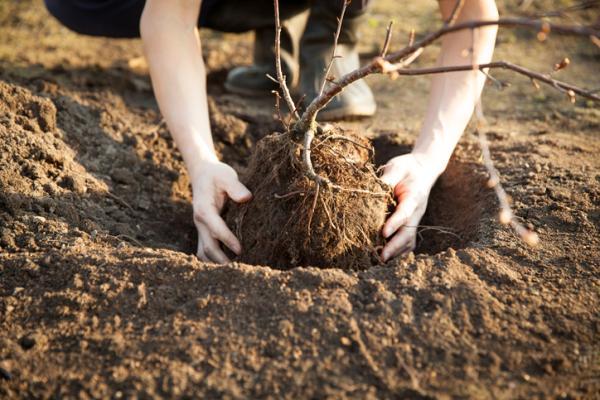 Cómo plantar un cerezo - Cómo plantar un cerezo a partir de una rama
