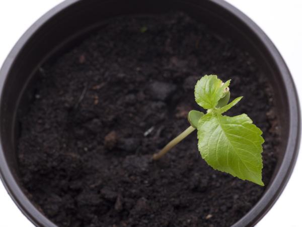 Cómo plantar un cerezo - Como plantar un cerezo en maceta