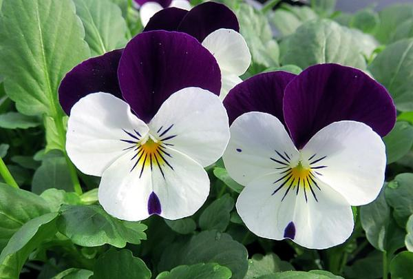 Flor pensamiento: cuidados - Flor pensamiento: cuidados