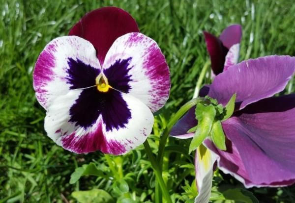 Flor pensamiento: cuidados - Poda del pensamiento